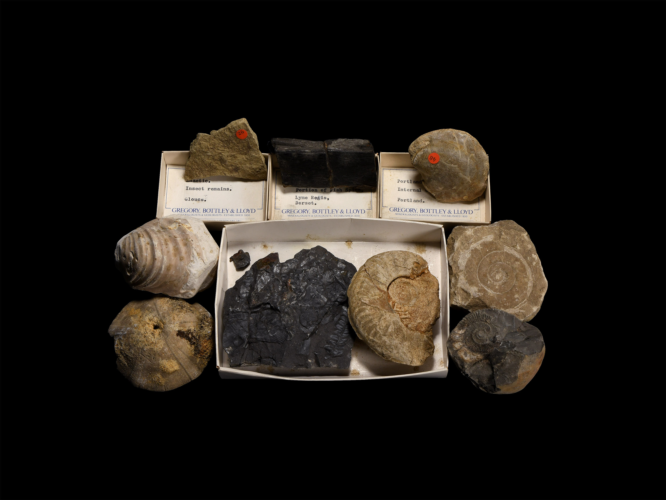 Natural History - Historic British Fossil Collection