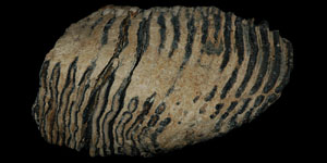 Palaeolithic - Adult Woolly Mammoth Tooth and Tusk Fragment - M. Primigenius
