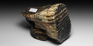 British Woolly Mammoth Tooth