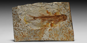 Fossil Lycoptera Fish