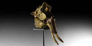 Baby Mammoth Skull with Tusks