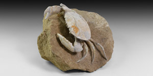 Fossil Crab