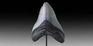 Large Megalodon Fossil Shark Tooth