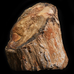 Natural History - Large Cut Fossil Tree Branch Specimen