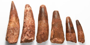 Natural History - Spinosaurus Dinosaur Tooth Group