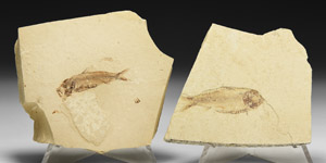 Natural History - Fossil Knightia Fish Group