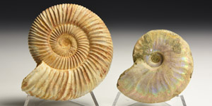 Natural History - Fossil Ammonite Group