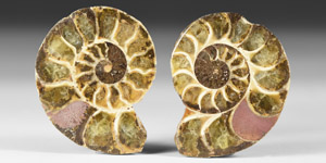 Natural History - Cut and Polished Fossil Ammonite Pair