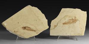 Natural History - Fossil Knightia Fish Group