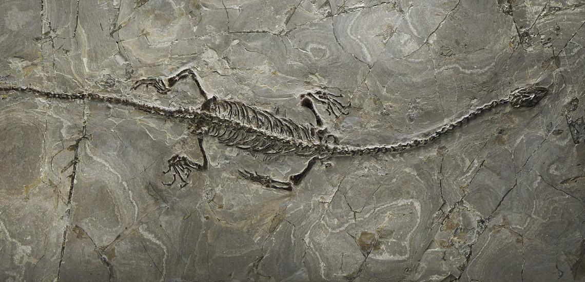 Large Fossil Sinohydrosaurus