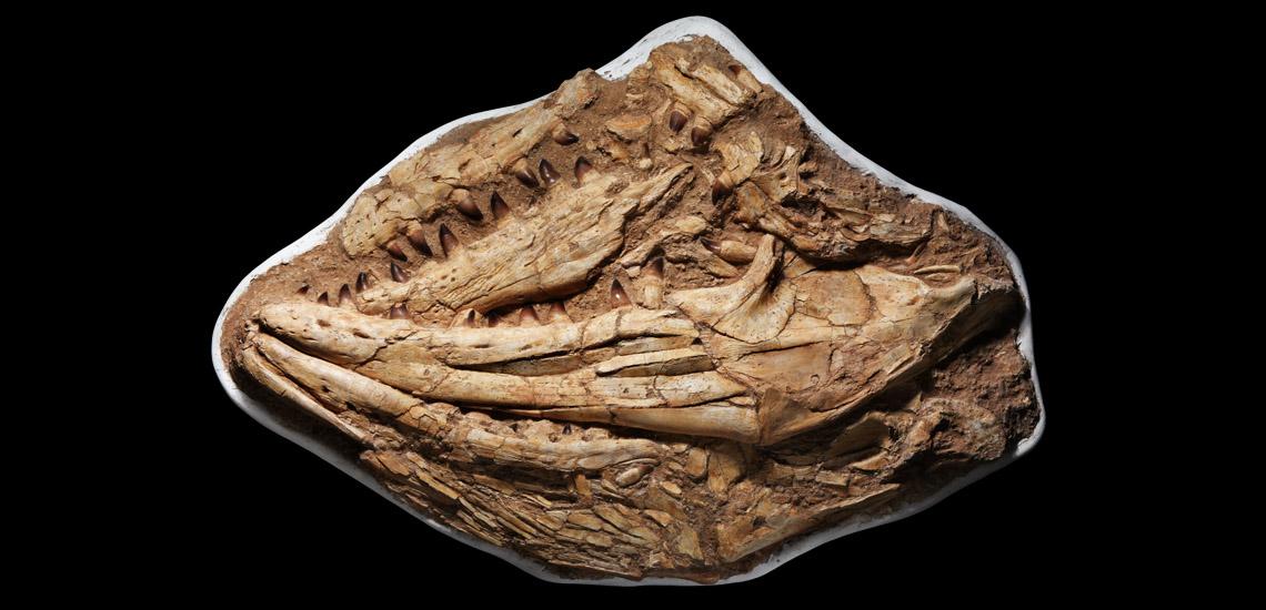 Jaws of a Gigantic Mosasaurus £5,000 - £7,000